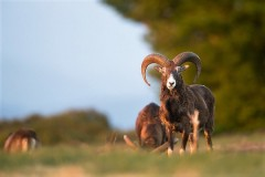 Approche au Mouflon en Haute Loire