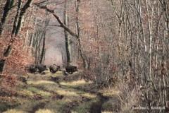 Battue Sangliers en Meuse