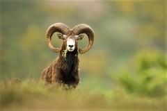 Approche au Mouflon dans les Pyrénnées Atlantiques.
