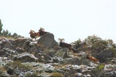 Approche au Mouflon en Arirège.